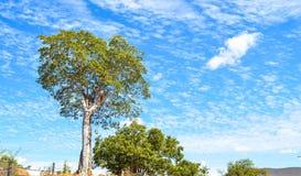 Duży zielony drzewo i piękny niebieskie niebo z chmurami w nordeste Obraz Stock
