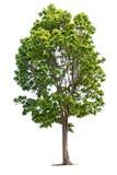 Duży zielony drzewo odizolowywający na bielu Obraz Royalty Free