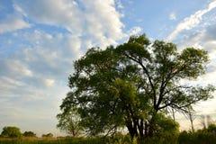 Duży zielony drzewo przy świtem obraz royalty free