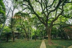duży zielony drzewo w szkole zdjęcia stock