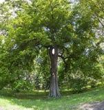 Duży zielony drzewo z ptasim domowym szpaczka pudełkiem na nim Obraz Stock