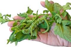 Duży zielony gąsienicowy łasowanie pomidor opuszcza na ręce fotografia royalty free