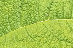 Duży zielony liść Obrazy Royalty Free