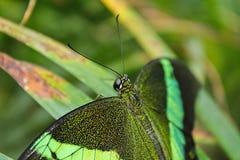 Duży zielony motyli Szmaragdowy Swallowtail zakończenie up, Papilio palinu obraz royalty free