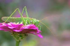 Duży zielony pasikonik na kwiatów zinnias Zamazywać tło Obraz Royalty Free