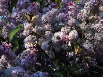 Duży zielony swallowtail motyl na gronach bez i ściga, piękne purpury kwitniemy fotografia stock