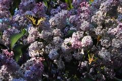 Duży zielony swallowtail motyl na gronach bez i ściga, piękne purpury kwitniemy zdjęcia royalty free