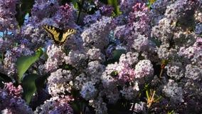Duży zielony swallowtail motyl na gronach bez i ściga, piękne purpury kwitniemy obraz stock