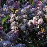 Duży zielony swallowtail motyl na gronach bez i ściga, piękne purpury kwitniemy fotografia royalty free