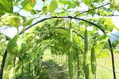 Duży zucchini zdjęcie stock