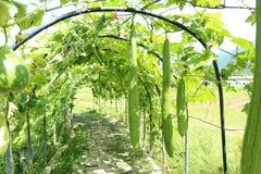 Duży zucchini fotografia stock