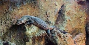 Dużych storr monitoru jaszczurka tropikalny terrarium zwierzę domowe który żyje w Australia fotografia stock