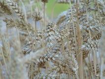 Du blé et une certaine beauté Image stock