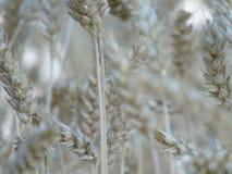 Du blé et une certaine beauté Photo libre de droits