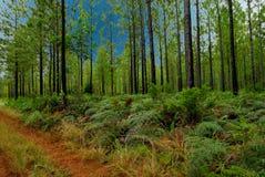 du bois sous sud Obraz Royalty Free