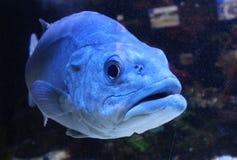 Duża dzika ryba w akwarium Obraz Stock