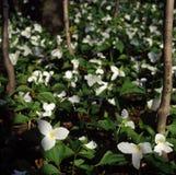 duże grandiflorum trillium bloom Obraz Royalty Free