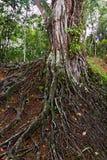 duże korzenie drzew Zdjęcia Royalty Free