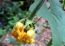 Duże mrówki w kwiat obraz stock