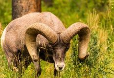 duże rogaci owce Obrazy Royalty Free
