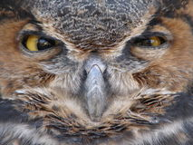 duże sowa twarzy Zdjęcia Stock