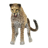 Dużego kota gepard Obraz Royalty Free