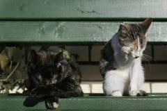 Dużego kota i figlarki obsiadanie na Obraz Stock