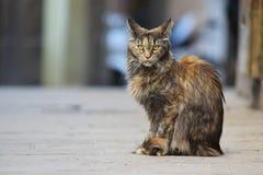 Dużego kota Maine coon obsiadanie na ulicie Obraz Stock