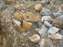 Duża foraminifera skamielina Zdjęcia Royalty Free