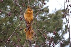 Duża gruba sumiasta lis wiewiórka w drzewie fotografia royalty free