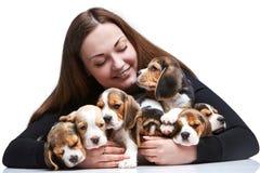 Duża grupa beagle szczeniaki i kobieta Zdjęcia Stock