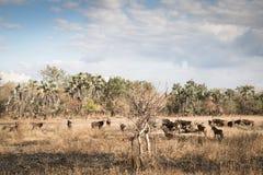 Duża grupa waterbuck w sawannie Gorongosa park narodowy Fotografia Royalty Free