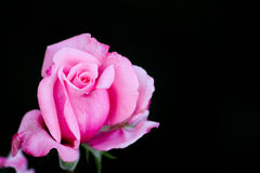 Du kan klaga cozrosen har taggar, eller u kan jubla coztaggar har rosor arkivfoton