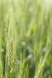 Du Kansas de blé fin verte  Images libres de droits