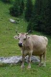 Duża krowa Zdjęcie Royalty Free