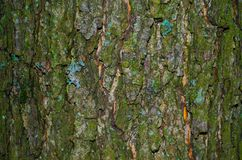 Du lichen sur une écorce moussue d'une texture d'arbre photos stock