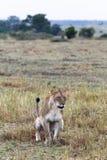 Duża lwica siedzi na ziemi mara masajów Kenja, Afryka Zdjęcie Stock