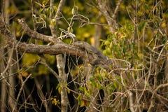 Duża monitor jaszczurka w Sundarbans w India Zdjęcie Royalty Free