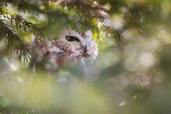Du nord Scie-affûtez Owl Hiding In Dense Foliage photo stock
