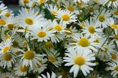 Dużo kwiaty daisywheel Zdjęcie Stock