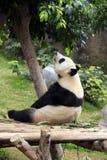 Duża panda Obrazy Stock