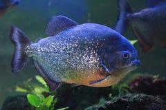 duża piranha ryba Zdjęcia Stock