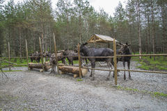 Du ranch d'orignaux dans l'ed Photographie stock