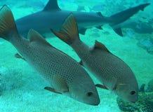 duża ryba Fotografia Stock