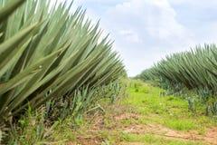 Duża sizal plantacja Zdjęcie Stock