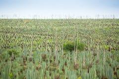 Duża sizal plantacja Zdjęcia Stock