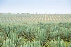 Duża sizal plantacja Obraz Stock