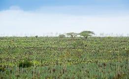 Duża sizal plantacja Fotografia Stock
