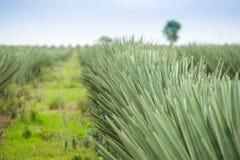 Duża sizal plantacja Obraz Royalty Free