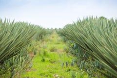 Duża sizal plantacja Fotografia Royalty Free